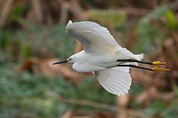 Snowy Egret flying 0587