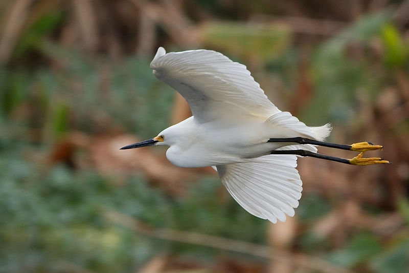 File:Snowy Egret flying 0587.jpg