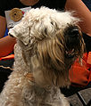 Soft-coated wheaten terrier b77.jpg
