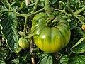 Solanales - Solanum lycopersicum - 47.jpg