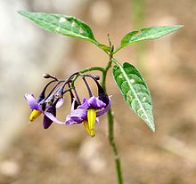 Solanum dulcamara ENBLA01.jpg