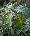 Solanum melongena 7.jpg