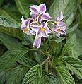 Solanum muricatum Flower2.jpg