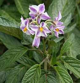 Solanum muricatum Flower2
