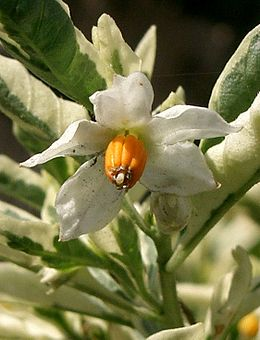 Solanum pseudocapsicum3