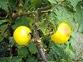 Solanum viarum 04.JPG