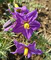 Solanum virginianum (8245207906).jpg