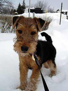 Sophie the Welsh Terrier.jpg