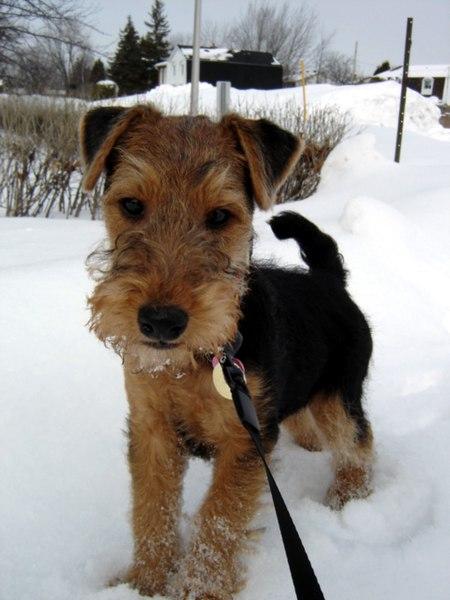 Raza Terrier galés