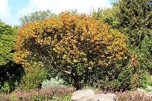 Sorbus chamaemespilus - Image: Sorbus chamaemespilus autumn
