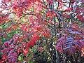 Sorbus aucuparia (5084662383).jpg