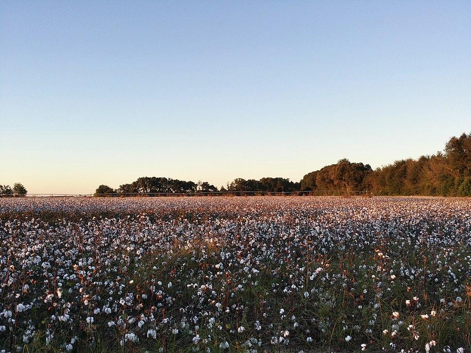 South Georgia Cotton Field - panoramio (2)