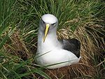 An albatross, white with grey wings and long yellow beak, nesting amid grass