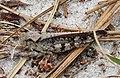 Southern Marbled Grasshopper (Spharagemon marmoratum pictum) (39060963622).jpg