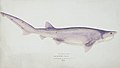 Southern Pacific fishes illustrations by F.E. Clarke 90.jpg