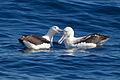 Southern Royal Albatrosses beaking - SE Tasmania.jpg