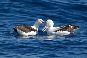 Southern royal albatross - Image: Southern Royal Albatrosses beaking SE Tasmania