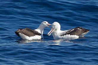 Southern royal albatross - Image: Southern Royal Albatrosses beaking SE Tasmania