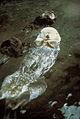 Southern sea otter enhydra lutris nereis.jpg