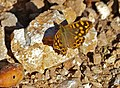 Specked Wood Butterfly (Pararge aegeria aegeria) male (15286460293).jpg