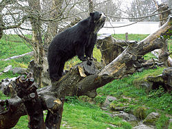 Spectacled Bear at Jersey Zoo - geograph.ci - 154.jpg
