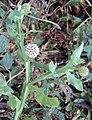 Sphaeranthus indicus 01.JPG