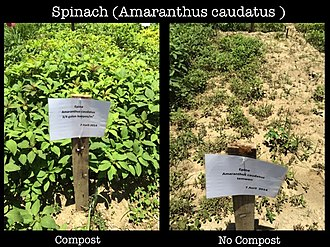 Reuse of excreta - Comparison of spinach field with (left) and without (right) compost, experiments at the SOIL farm in Port-au-Prince, Haiti
