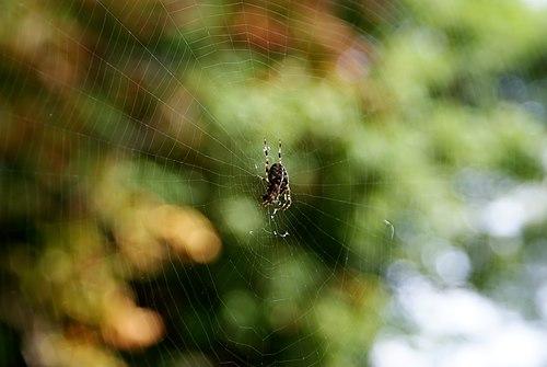 Spindel i nät 01