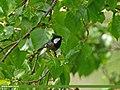 Spot-winged Tit (Periparus melanolophus) (28494981281).jpg