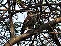 Spotted Owlet at Nandur Madhyameshwar.jpg