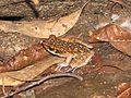 Spotted stream frog? (Hylarana picturata) (7950673230).jpg