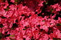 Spring-azaleas - West Virginia - ForestWander.jpg