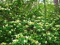Spring-honey-suckle - West Virginia - ForestWander.jpg