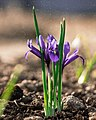 Spring4crocus.jpg