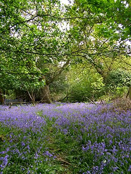 Spring in Roydon Woods - geograph.org.uk - 170441