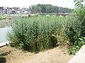 Srinagar - Cannabis (3943616141).jpg
