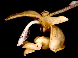 Stanhopea anfracta Orchi 001.jpg