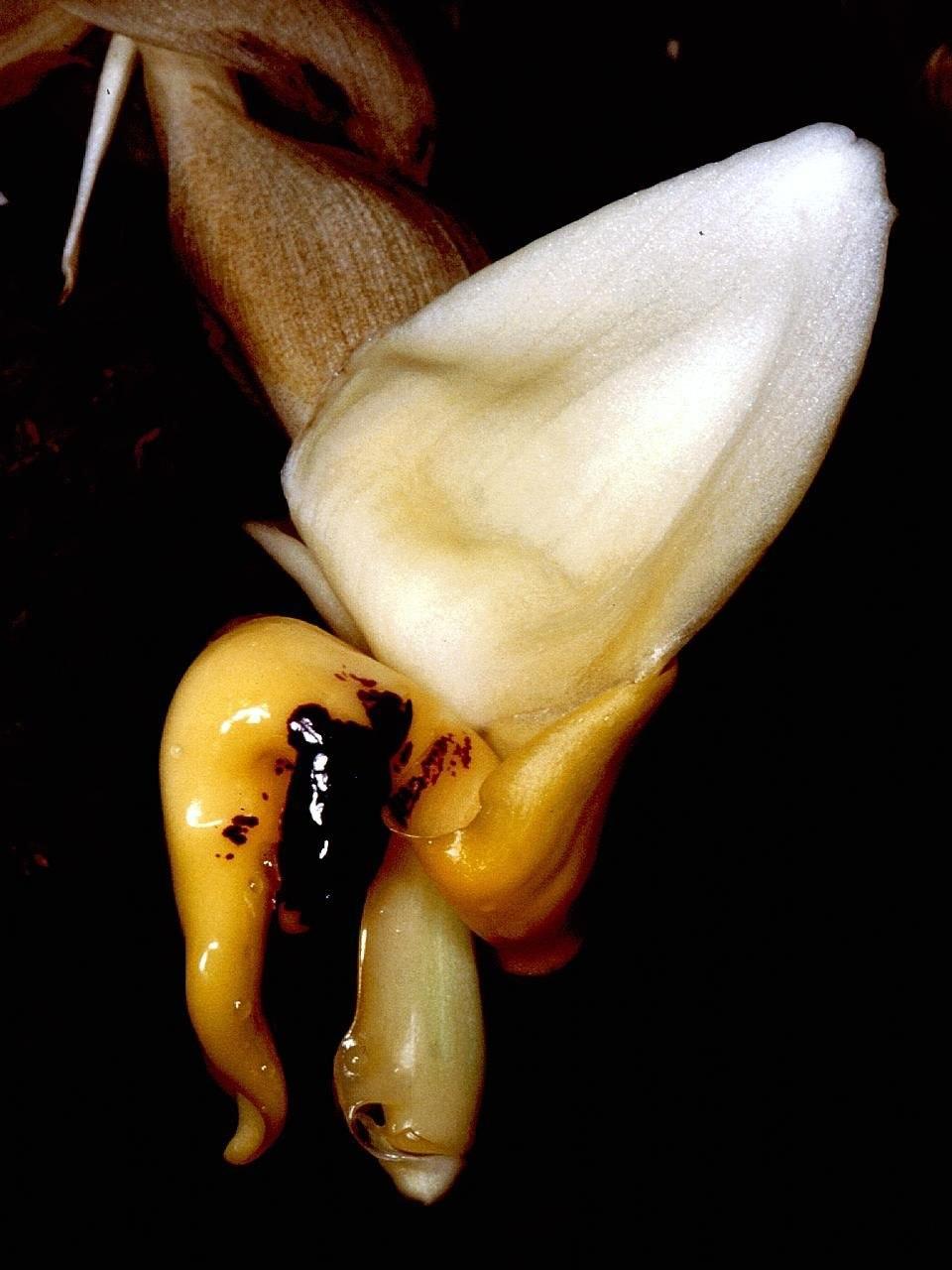 Stanhopea cirrhata Orchi 001