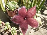 Stapelia grandiflora and succulents 2.jpg
