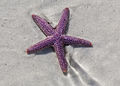Starfish at low tide on Sanibel Island (8298677162).jpg