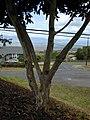 Starr-010419-0013-Pimenta dioica-bark-Kula-Maui (24236628890).jpg