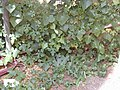 Starr-010914-0091-Coccinia grandis-leaf variations-Lahaina-Maui (23914072384).jpg