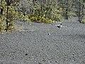Starr-011205-0083-Metrosideros polymorpha-Kalij pheasant-Havo Hawaii-Maui (24517696756).jpg