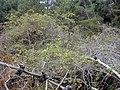 Starr-021126-0071-Rubus niveus-form b habit-Polipoli-Maui (24445262902).jpg