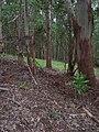 Starr-041214-1493-Cordyline fruticosa-trail building-Makawao Forest Reserve-Maui (24603092632).jpg