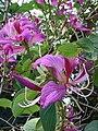 Starr-061109-1474-Bauhinia x blakeana-flowers-Kokomo Rd Haiku-Maui (24240593074).jpg