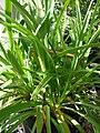 Starr-080117-1616-Agapanthus praecox subsp orientalis-habit-Walmart Kahului-Maui (24272292584).jpg