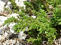 Starr-080531-4811-Pilea microphylla-habit-Charlie barracks Sand Island-Midway Atoll (24282650784).jpg