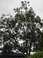 Starr-090519-7978-Ficus religiosa-habit-Kula-Maui (24929246046).jpg