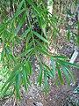 Starr-091104-0897-Afrocarpus falcatus-leaves-Kahanu Gardens NTBG Kaeleku Hana-Maui (24357200654).jpg